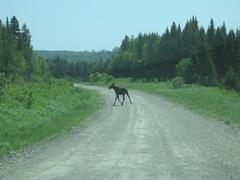 Young NBranch moose.JPG